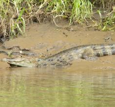 Caiman on the river bank in Costa Rica