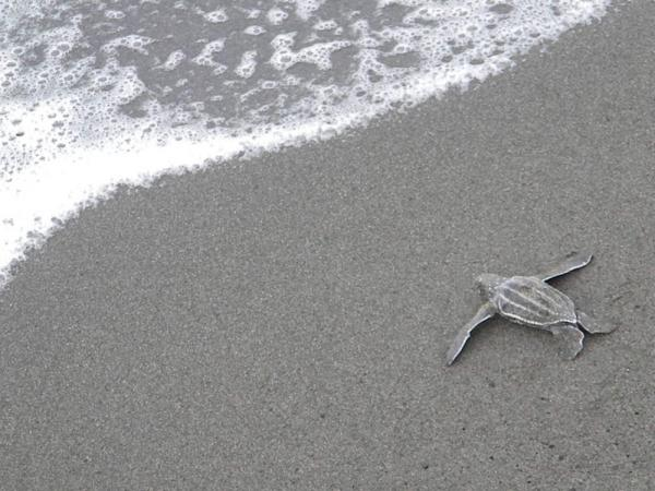 A baby sea turtle heads for the ocean