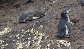 Galapagos Penguins on Isabela Island