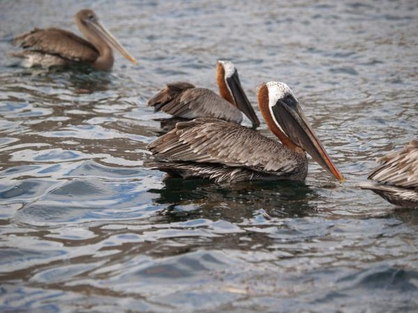Brown Pelicans, Isabela