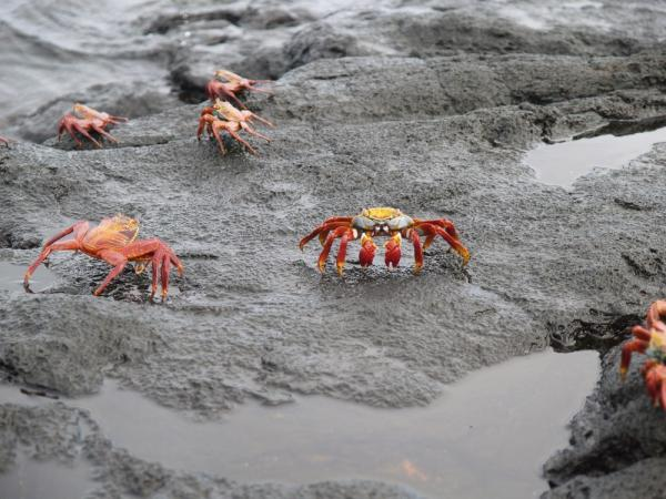 Sally Lightfoot Crabs on Santiago Island