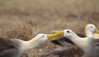 Albatross courting on Espanola Island in the Galapagos