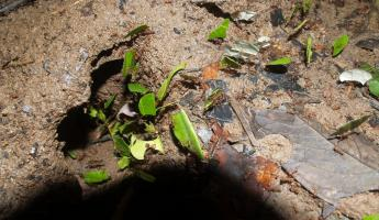 Leaf Cutter Ants, Amazon