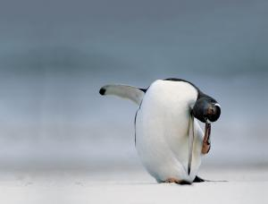 Does this penguin have an itch?