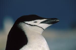 A contemplative Chinstrap penguin