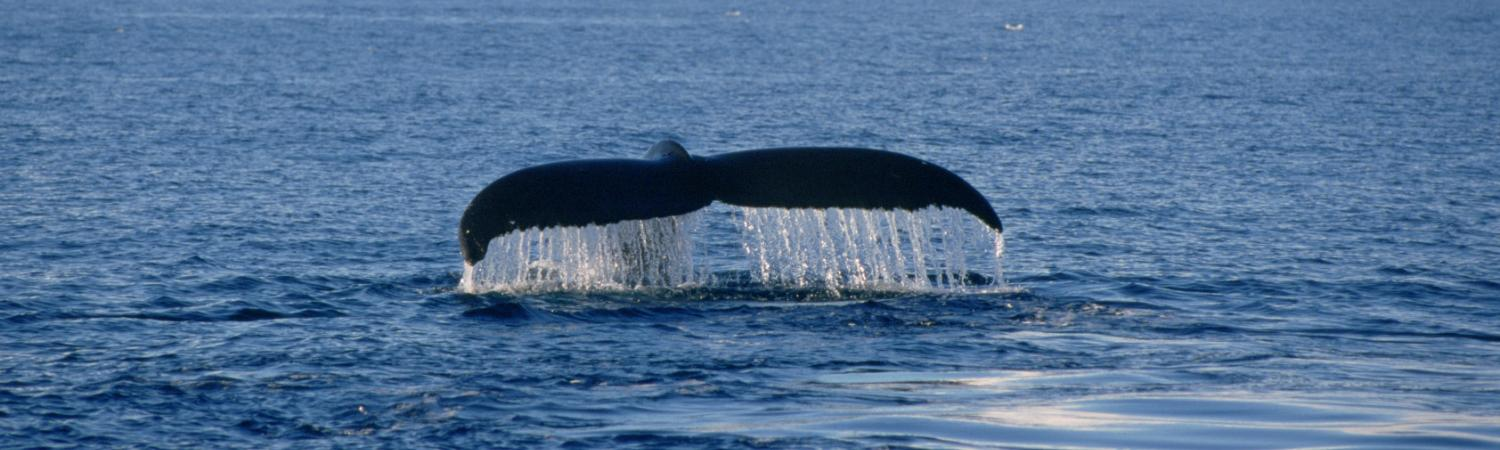 A humpback whale lifts its fluke