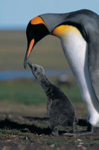 A king penguin and its chick