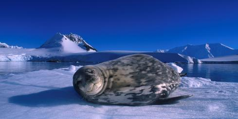 A young seal warms itself on the ice