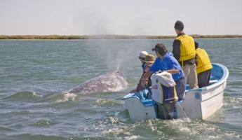 Viewing a gray whale