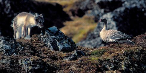 An arctic fox searches the rocks of the Arctic