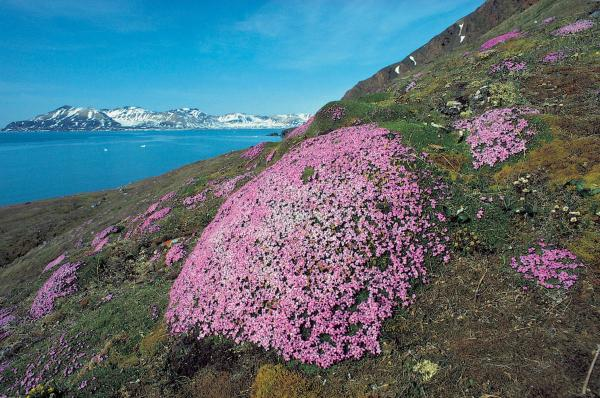 Purple Saxifrage on a Arctic hillside