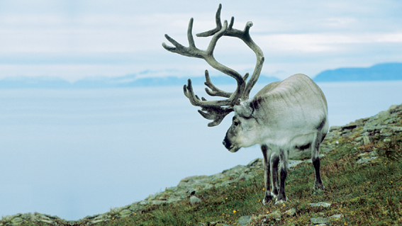 A lone reindeer searches for its herd