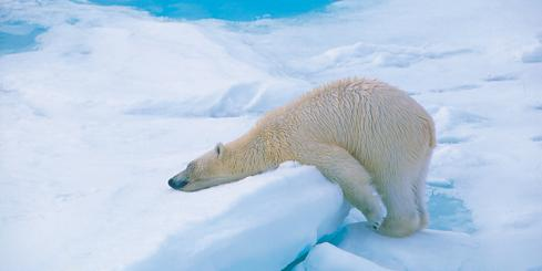 A polar bear takes a wintery nap