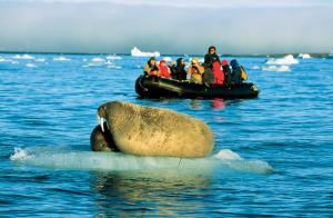 A walrus floats on the ice