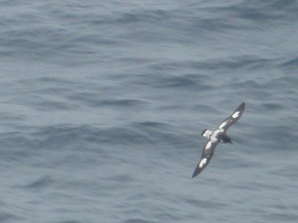A Cape Petrel...this is the best I get with my cheap camera