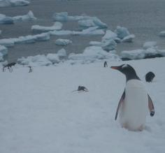 A Gentoo Penguin on Half Moon Island