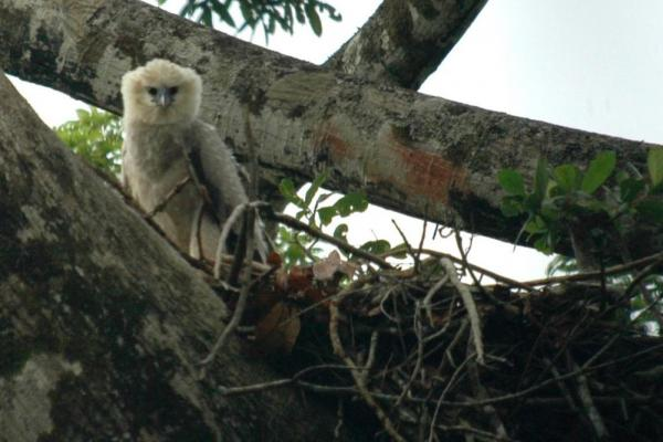 Endangered Eagle Harpy in hides in Guyana\'s rainforests