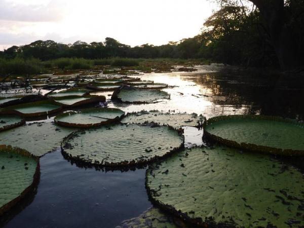 Lily pads in Guyana