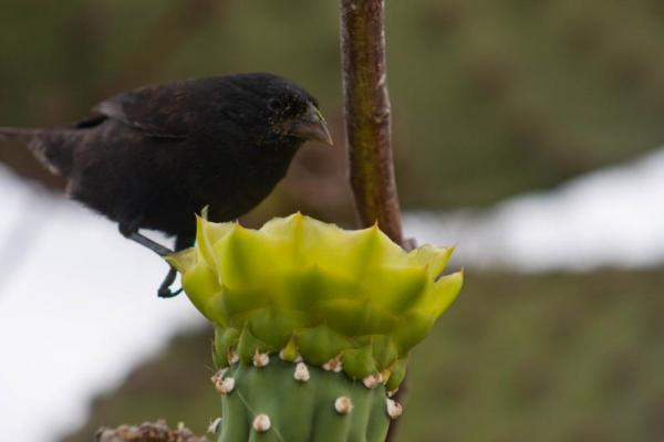 (San Cristobal) Cactus Ground Finch & Prickly Pear Cactus