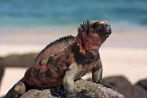 (Espanola) Marine Iguana enjoying the afternoon sun