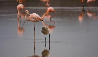 Flamingoes and a flamingo chick.