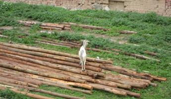 Goat on a pile of wood