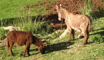 Burros in the Sacred Valley