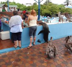 This sea lion and his pelican friends were waiting their turn at the fish market, just like everyone else!