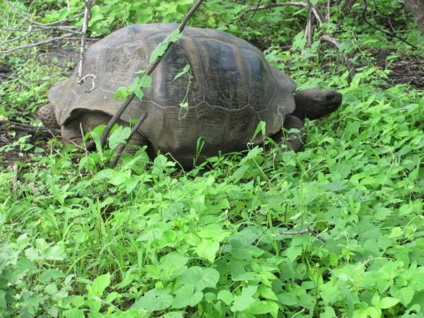 Giant tortoise came down from the highlands in the rainy season