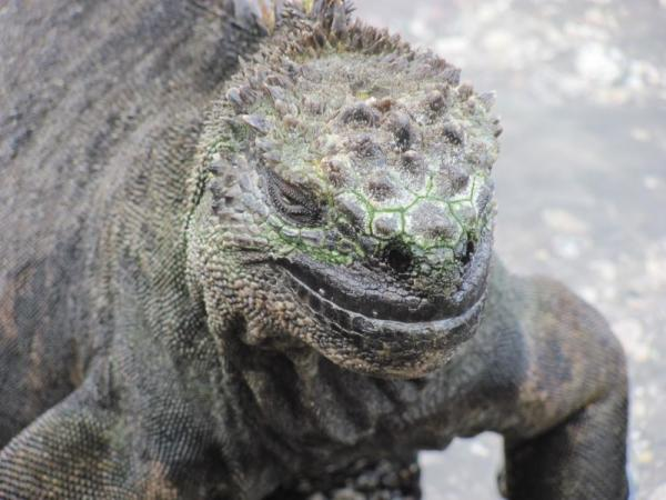 That famous marine iguana smile on Fernandina