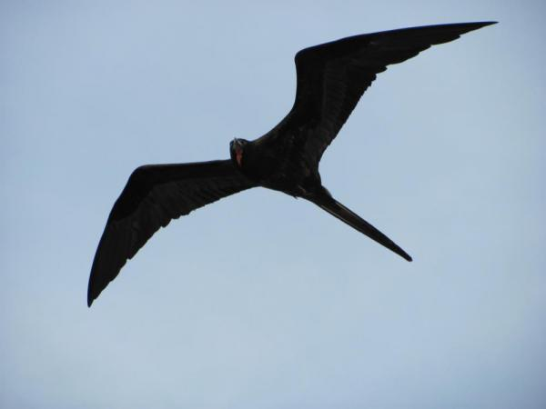 The frigate birds were constantly following the Angelito