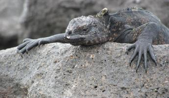 A marine iguana hanging out at Fernandina