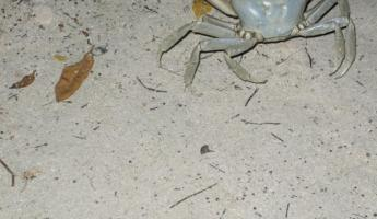 This crab tried to attack us!