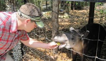 Feeding an adolescent tapir at the Belize Zoo