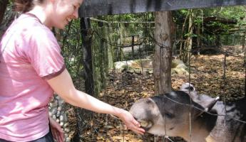 Feeding a tapir at the Belize Zoo