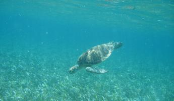 Green Sea Turtle spotted during our snorkeling trip