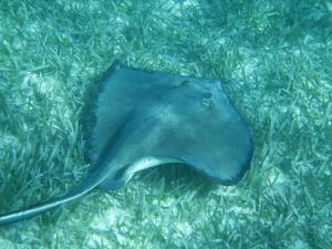 Sting ray spotted while snorkeling