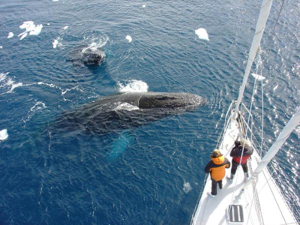 Two humpback whales passing by the ship