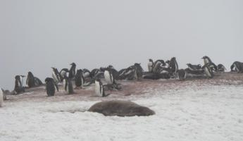 Seal in front of penguin colony