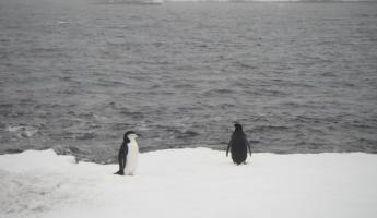 Chinstrap Penguins in Yankee Harbor