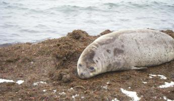 Wedell Seal in Antarctica