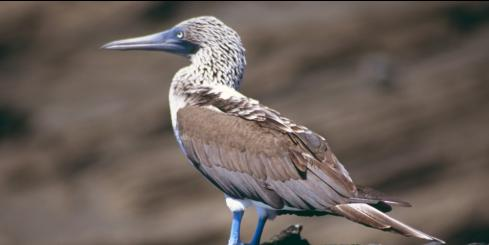 Catch a glimpse of a Blue-footed Booby on your Galapagos Islands tour