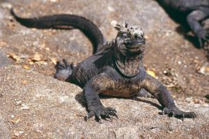 Marine iguana spotted on a Galapagos wildlife tour