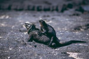 See marine iguanas during your Galapagos travels!