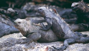 Marine iguanas seen during a Galapagos cruise