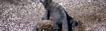 Wildlife viewing on the Galapagos:  Marine Iguanas