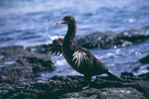 A Flightless Cormorant found on Fernandina and Isabela Islands in the Galapagos