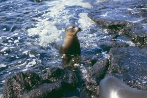 Sea lion relaxing on a rocky shore in the Galapagos Islands