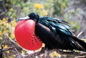 See colorful Frigatebird birds on your trip to the Galapagos