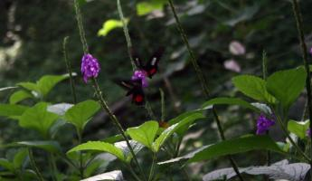 Some of the many butterflies-rainforest